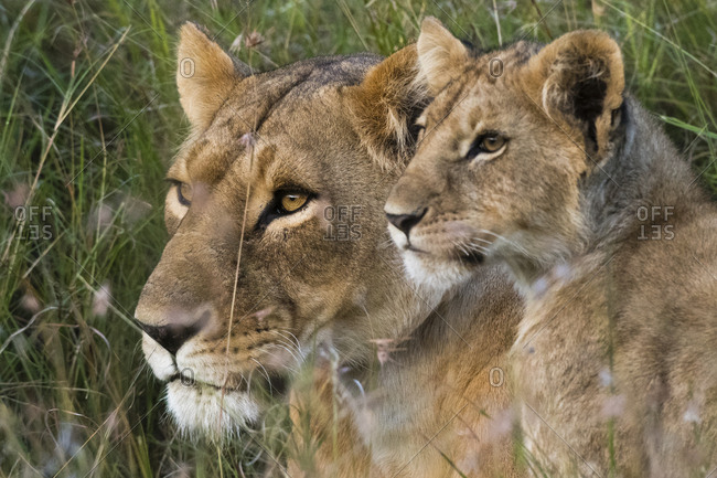 Portrait of a lioness, Panthera leo, and her cub, Masai Mara, Kenya.
