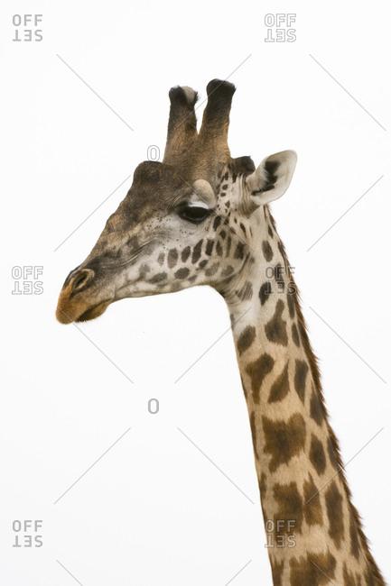 Masai giraffe,  Giraffa Camelopardalis Tippelskirchi, Masai Mara National Reserve, Kenya.