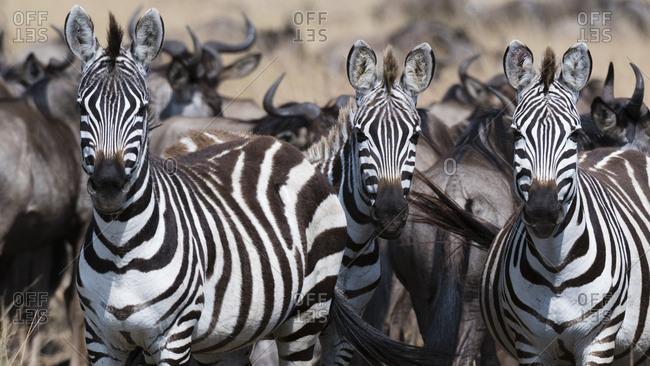 Three Grant's zebras, Equus quagga boehmi, looking at the camera, Masai Mara National Reserve, Kenya.