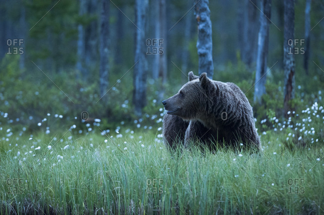 A European brown bear, Ursus arctos, walking in the forest at night, Kuhmo, Finland.