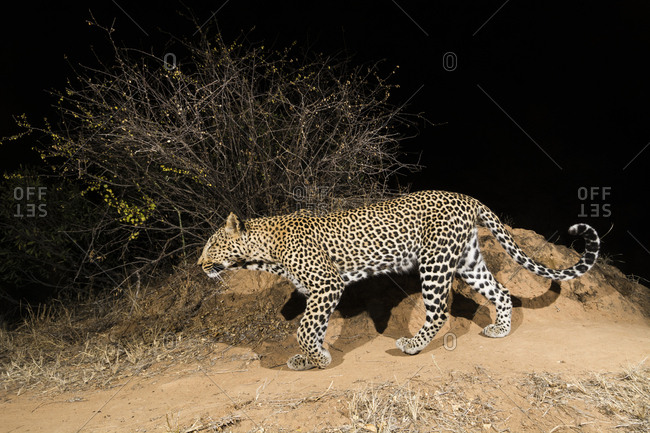 A remote camera trap captures a leopard, Panthera pardus, Kalama Conservancy, Samburu, Kenya.