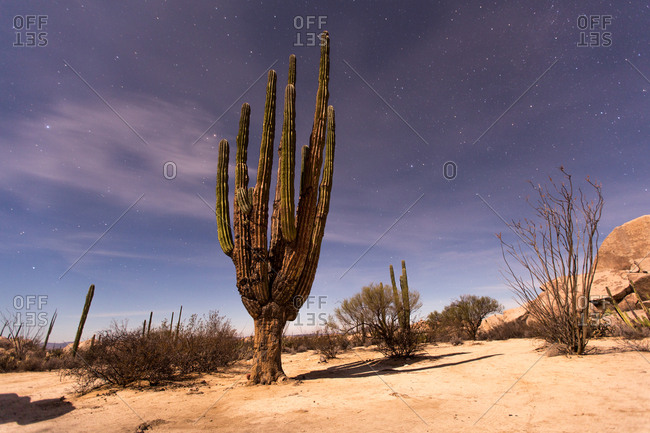 A giant Cardon cactus, Pachycereus pringlei, at night.