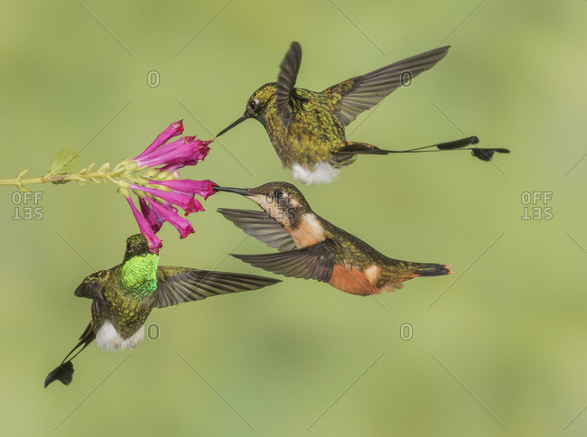 Three Booted Racket-tail hummingbirds share a flower.