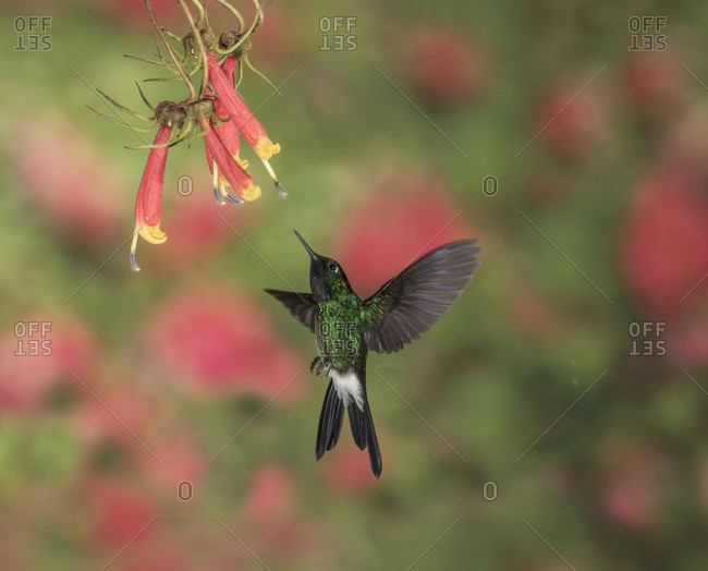 A Tourmaline Sunangel hummingbird approaches a flower for its nectar.