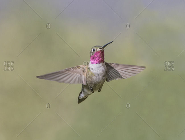 A broad-tailed hummingbird hovers in flight while watching for invaders of its territory.