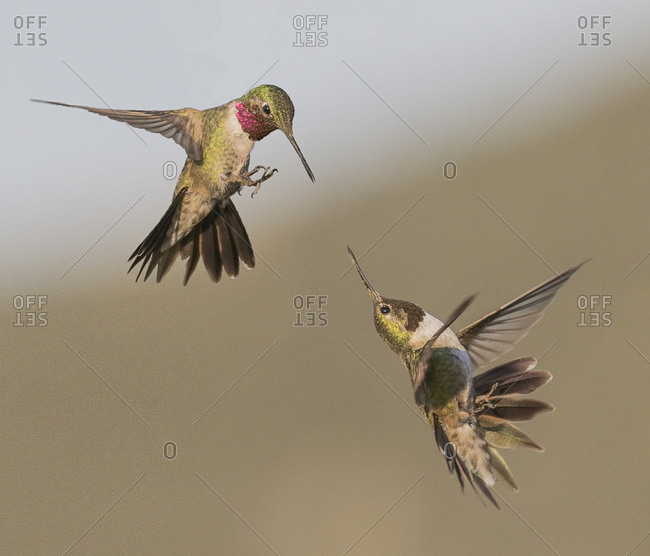 A broadtail and a rufous hummingbird fight over who owns the bird feeder.
