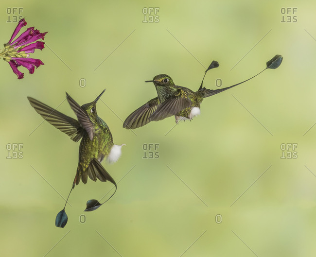 Two male  Booted Racket-tail hummingbirds take aggressive positions over who gets to the flower first.