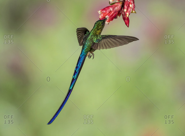 A Violet-tailed sylph hummingbird hovers under a flower to extract nectar.