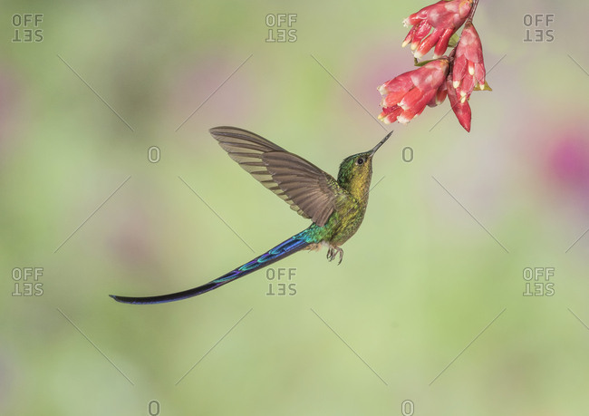 A male Violet-tailed Sylph hummingbird is about to extract nectar from a flower.
