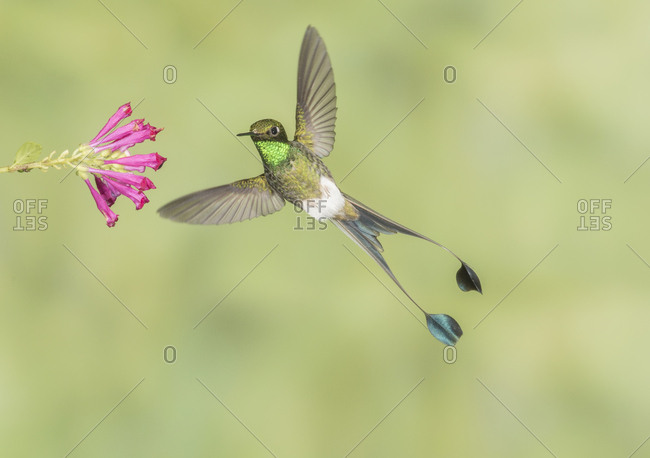 Male Booted Racket-tail hummingbird with wings and split tail spread hovers at a flower.