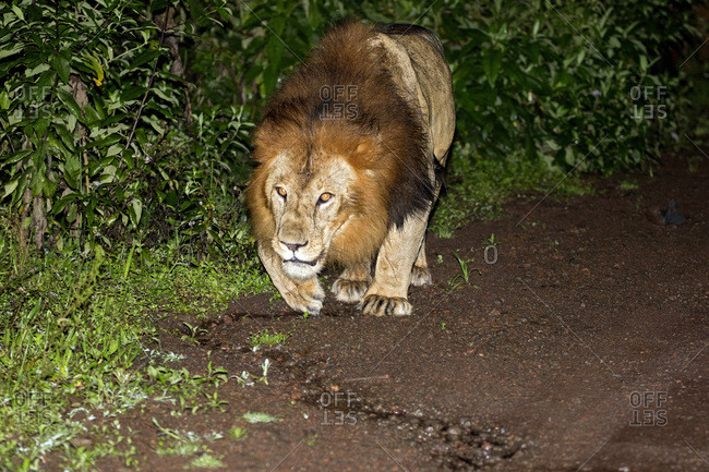 A male black-maned Ethiopian lion in the Harenna Forest of Bale Mountains National Park, Ethiopia.