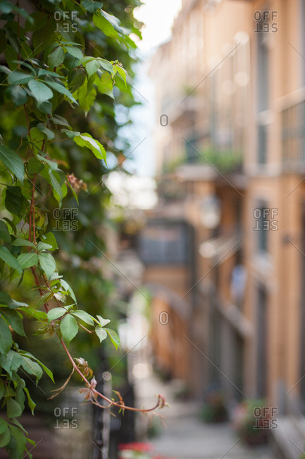Vines hanging from a building in Italy
