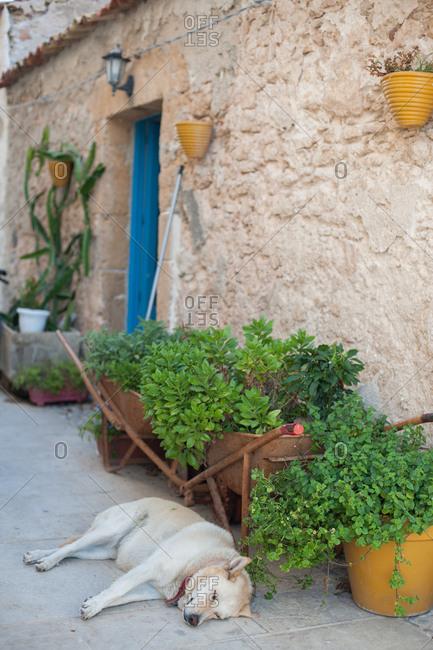Dog lying by plants plant on a city sidewalk in Marzamemi, Italy