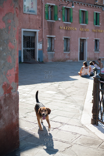 Venice, Italy - July 22, 2015: Dog walking on street in Murano, Venice, Italy