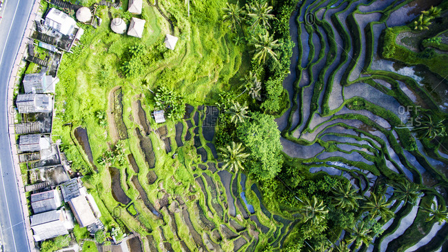 Tegallalang Rice Terraces in Ubud Bali is famous for its beautiful scenes of rice paddies involving the subak