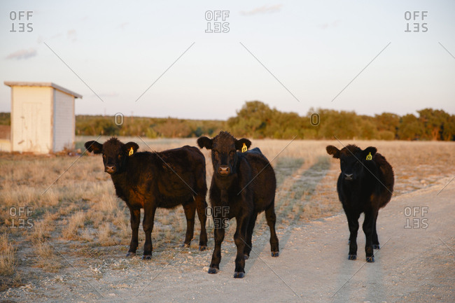 Three black calves standing in the sunlight