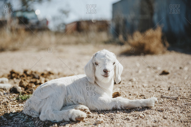 White baby goat laying down in the sun