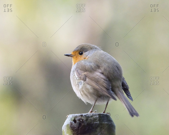 Robin bird perched on wooden post