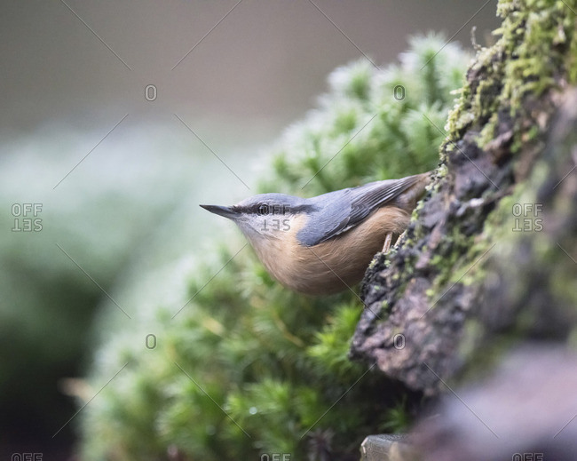 Eurasian nuthatch clung to tree trunk