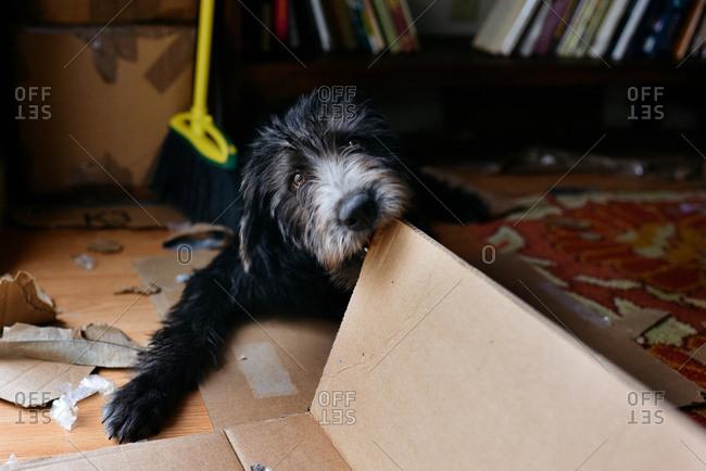 Cute puppy chewing on cardboard