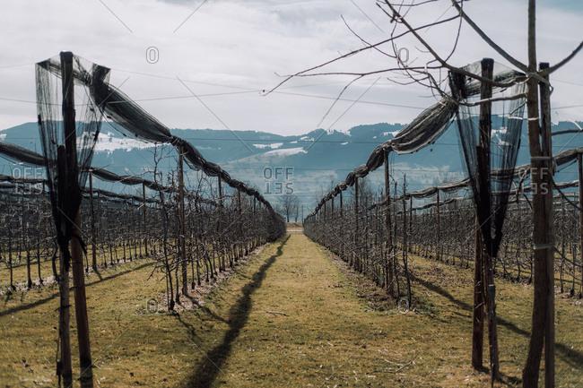 Bare vines in a Swiss vineyard