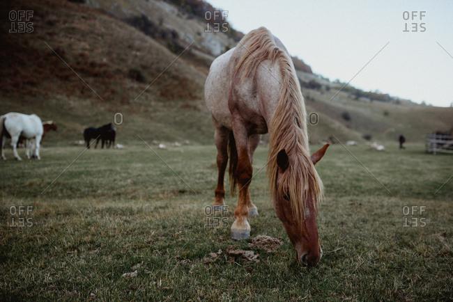 Horses grazing in a Romanian field