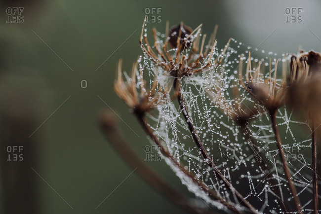 Dew drops on spider web wrapped around dead flowers