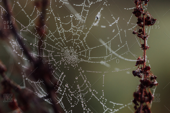 Dew drops on a spider web on dead flowers
