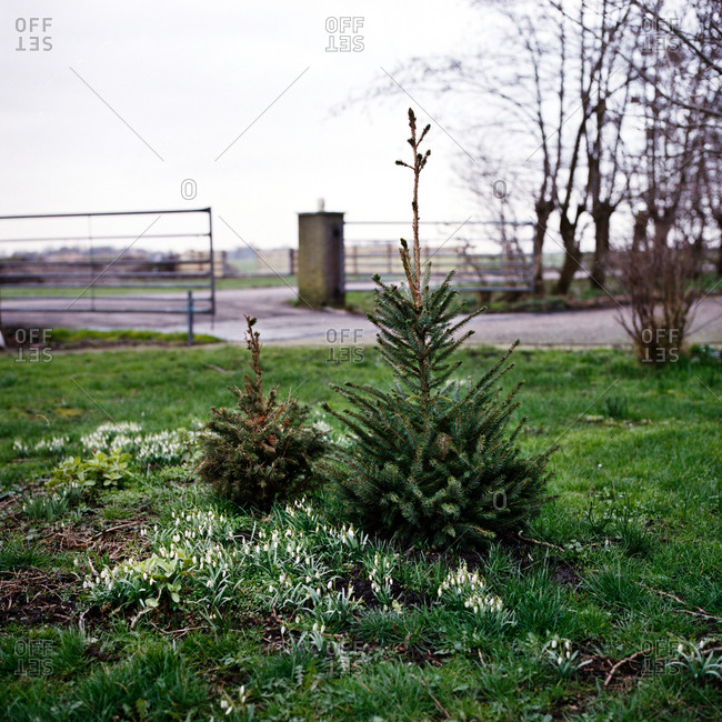 Christmas trees and snowbells in a farm