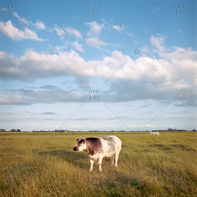 Cow standing in a field at sunset