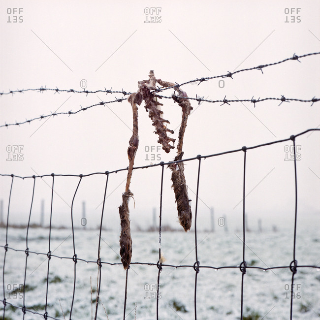 Hare bones on barbed wire