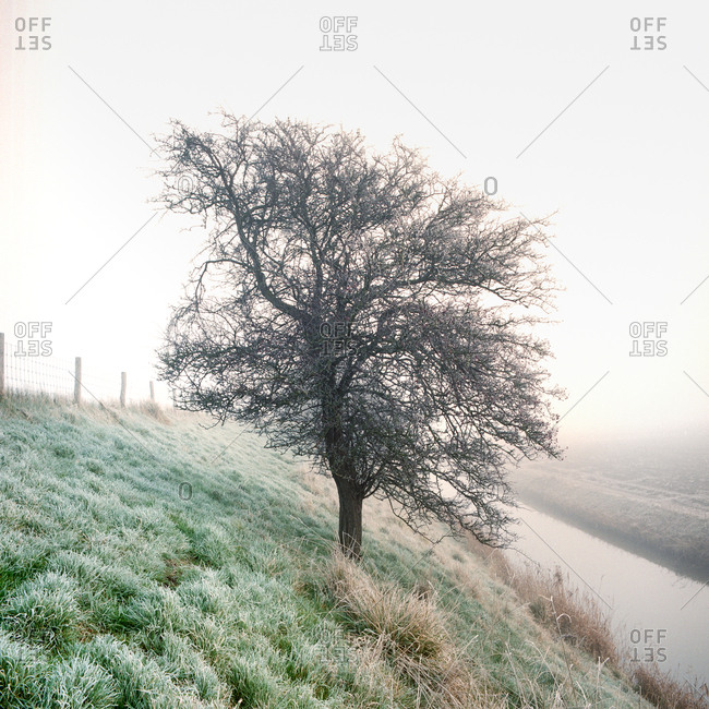 Hawthorne tree in the mist