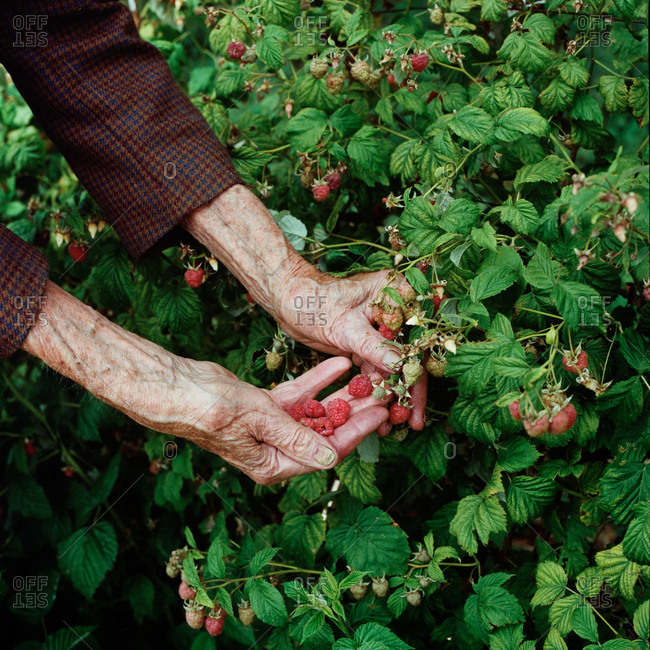 Old man picking raspberries