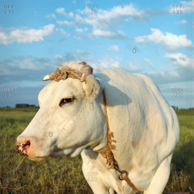 White cow on a rope standing in a field