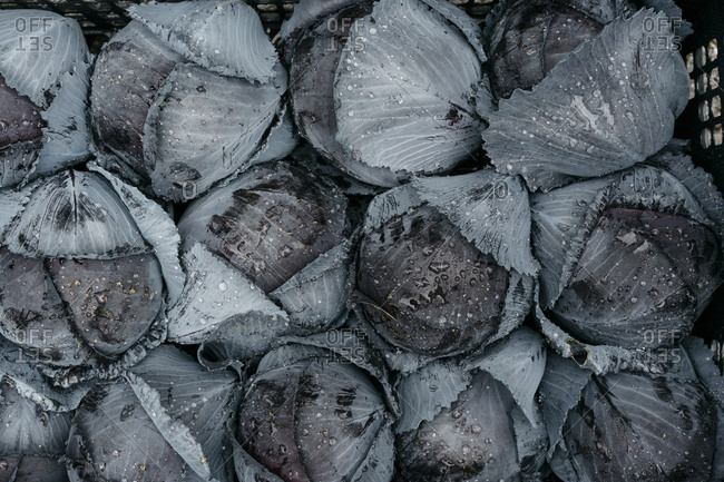 Dark heads of cabbage with drops of water