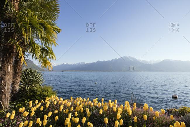 Spring tulips, Lake Geneva (Lac Leman), Montreux, Vaud, Switzerland, Europe