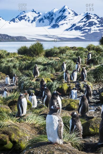 Gentoo penguins (Pygoscelis papua) colony, Prion Island, South Georgia, Antarctica, Polar Regions