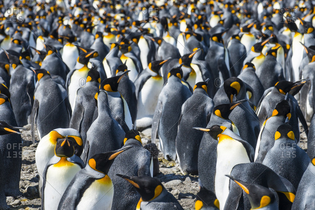 Giant king penguins (Aptenodytes patagonicus) colony, Salisbury Plain, South Georgia, Antarctica, Polar Regions