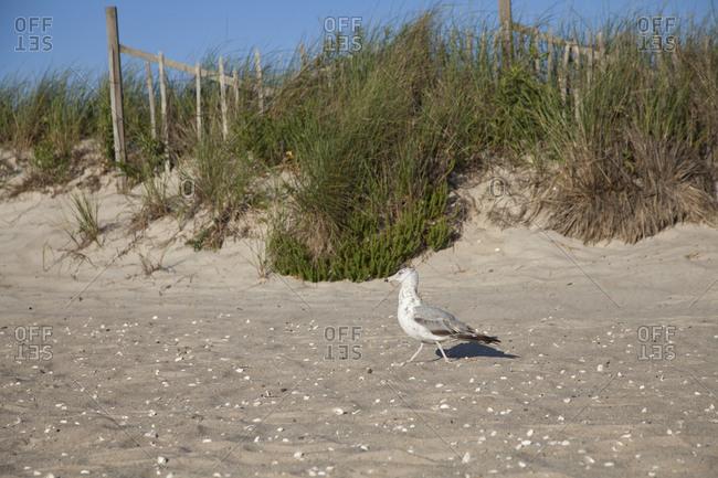 Seagull walking on a beach