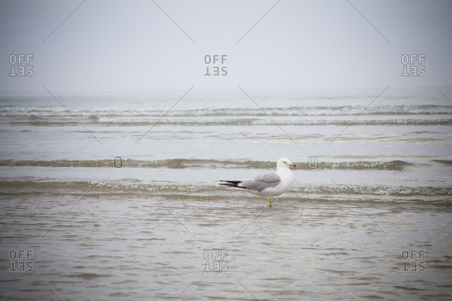 A seagull standing in ocean