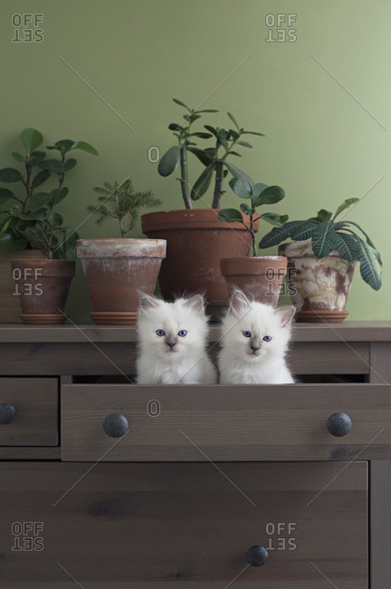Potted plants with two cute kittens in drawer of bureau