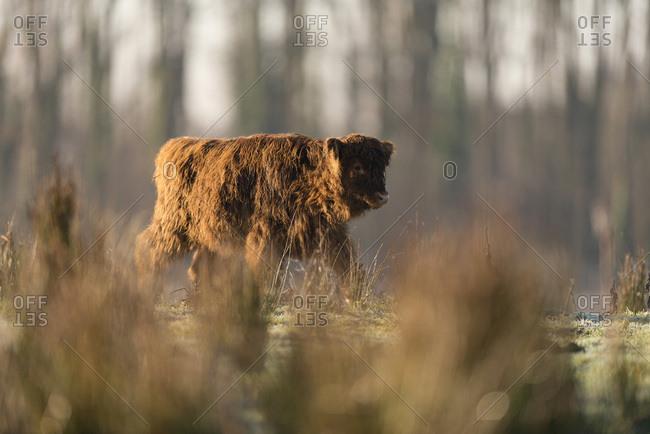 Highland calf walking in meadow backlit by sunlight