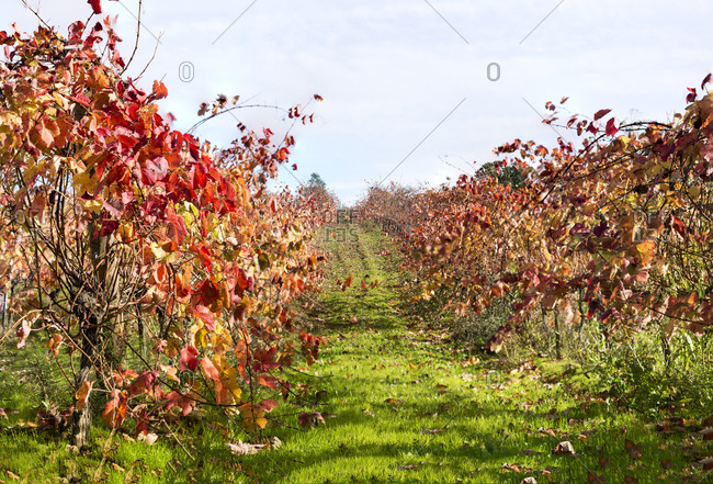 Grapevines in vineyard with autumn colors