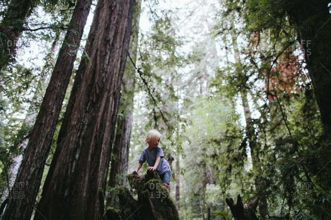 Boy climbing stump in redwood forest