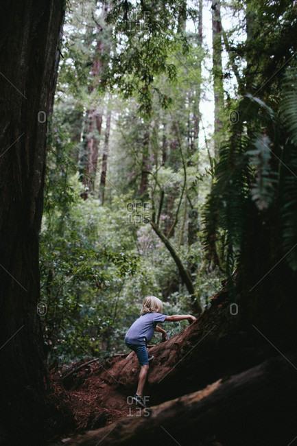 Boy climbing a fallen redwood tree