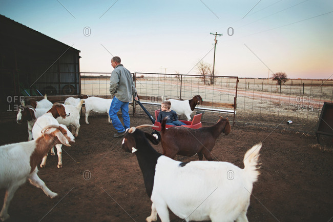 Man pulling boy in wagon in goat pen