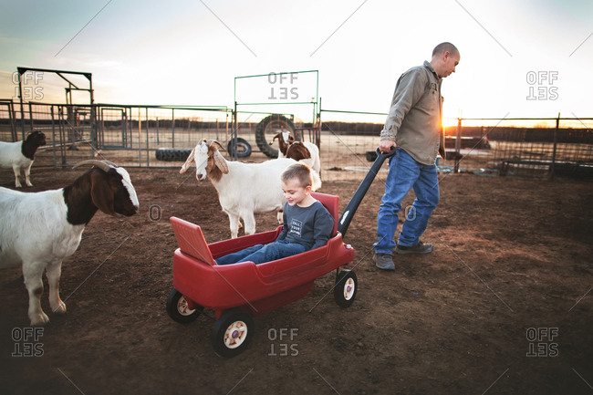 Man pulling boy in wagon among goats