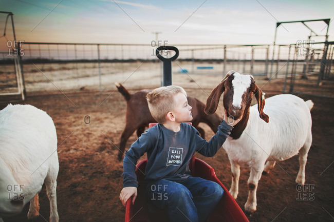 Boy in wagon touching a goat