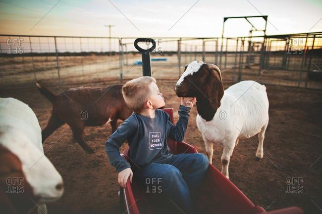 Boy in wagon petting a goat