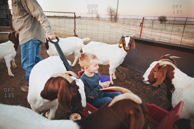 Boy in wagon surrounded by goats
